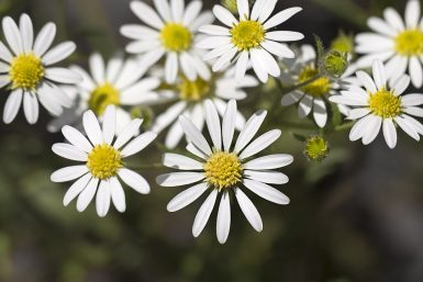 Swan River Daisy, white form
