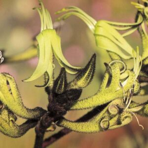 Black and Green Kangaroo Paw