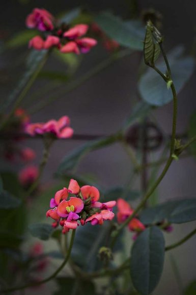 Heart-leaf Flame Pea