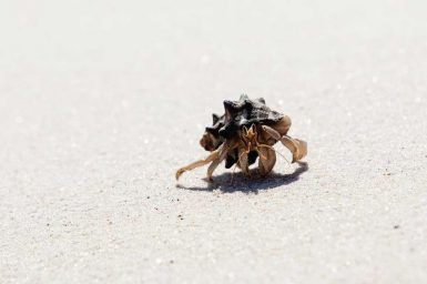 Hermit Crab, Quondong Point
