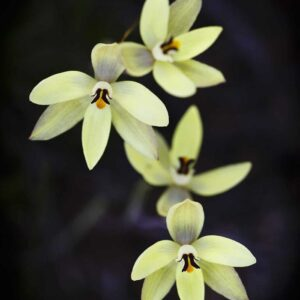 Lemon-scented Sun Orchid