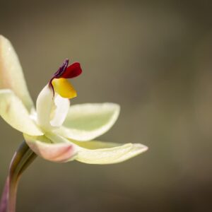 Lemon-scented Sun Orchid 02