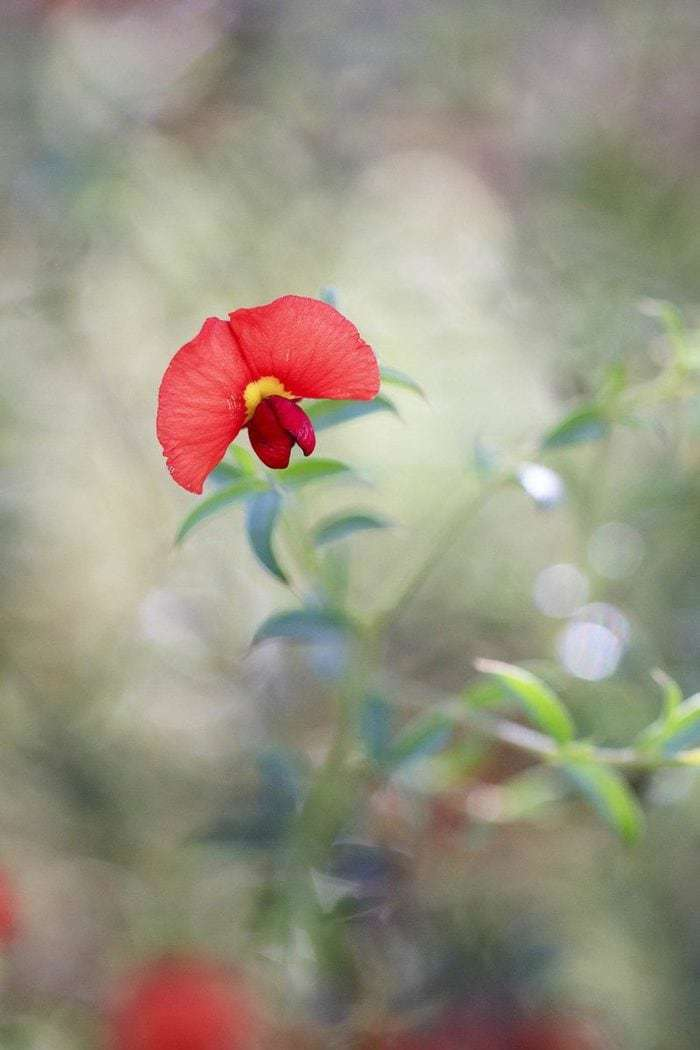 Yellow Eyed Flame Pea